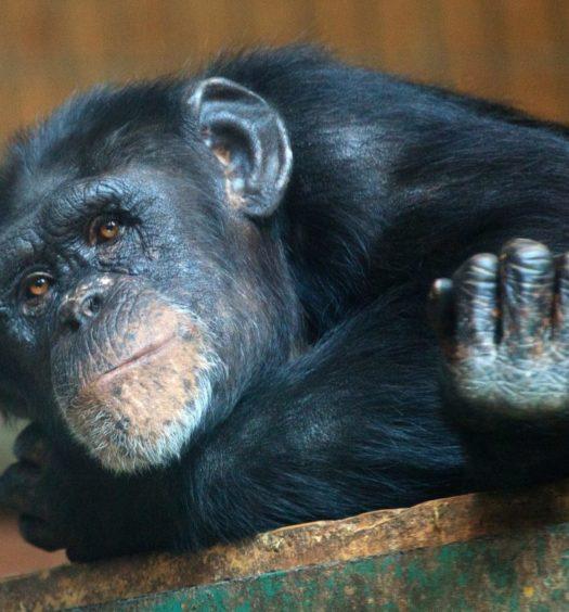 chimpans apa