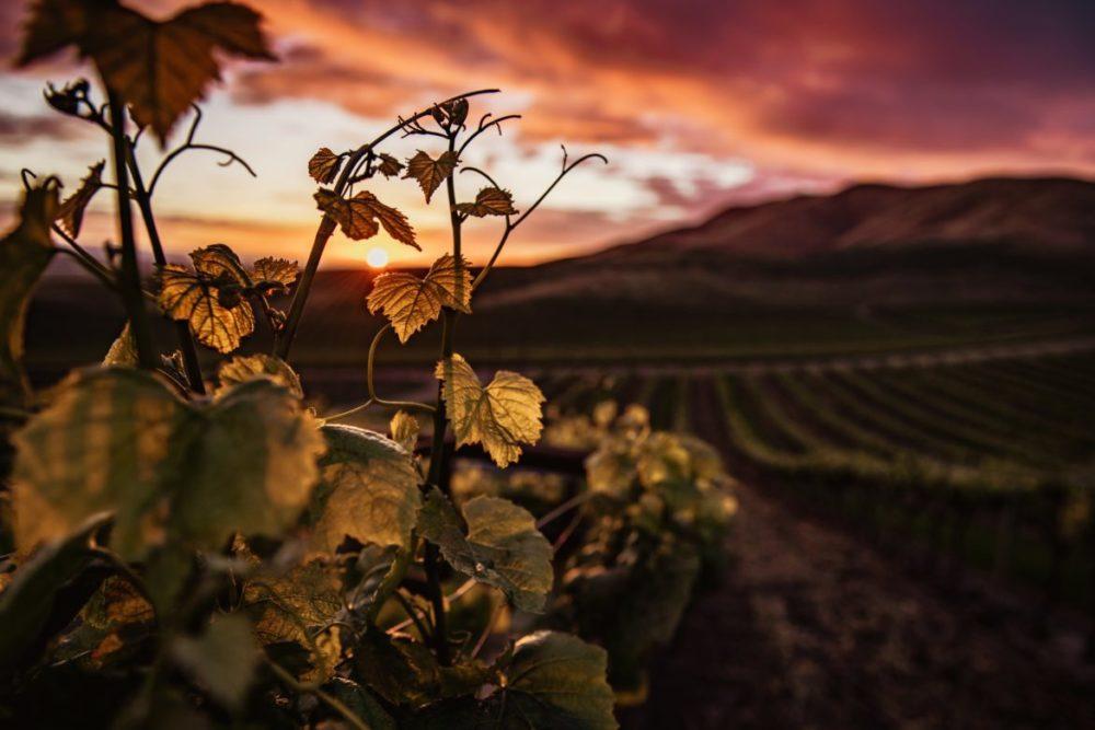 vingård kalifornien