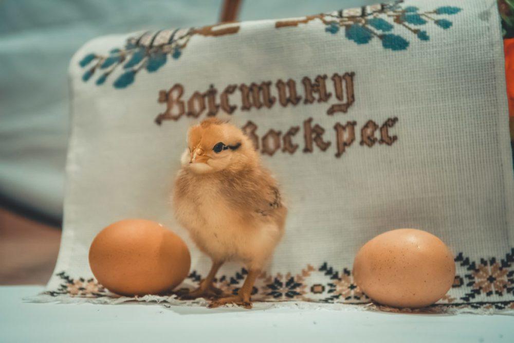 kyckling med ägg